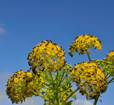 foeniculum: Fennel flowers with swarm of small insects Stock Photo