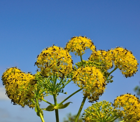 Splendid fennel flowers with swarm of small flies photo
