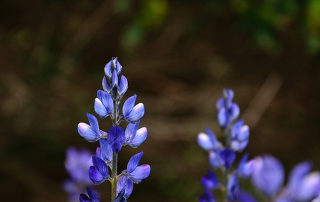fabales: Beautiful flowers of blue lupine Stock Photo