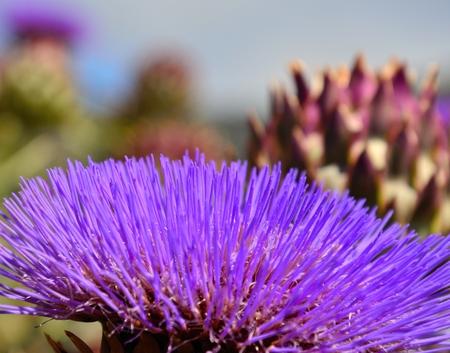 filaments: Splendid filaments of wild artichoke flower