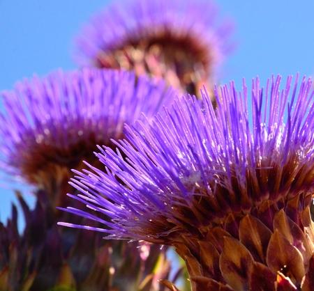 filaments: Long filaments of artichoke flower
