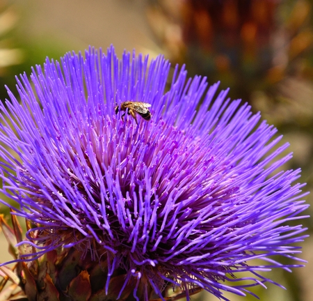 pollinators: Wasp among the stamens of artichoke flower