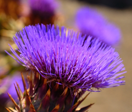 cardunculus scolymus: Colorful wild artichoke flower in all its splendor