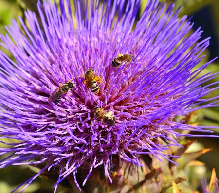 pollinators: Several wasps on splendid artichoke flower Stock Photo