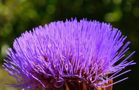 cardunculus scolymus: Radiant wild artichoke flower Stock Photo