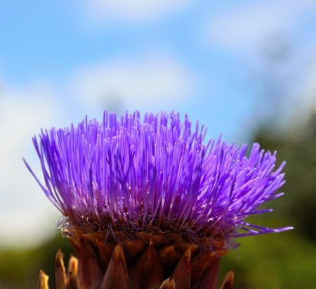 cardunculus scolymus: Splendid flower of wild artichoke Stock Photo
