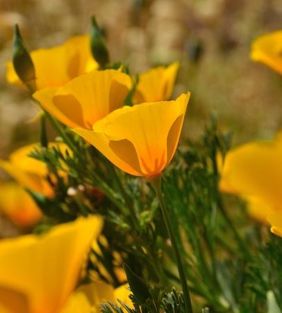splendide: Magnifique fleurs sauvages eschscholzia californica