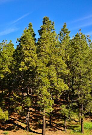 canariensis: Forest of pinus canariensis