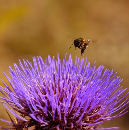 apocrita: Bee overflying an artichoke flower