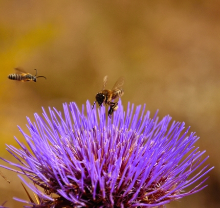 apocrita: Bee and wasp overflying an artichoke flower