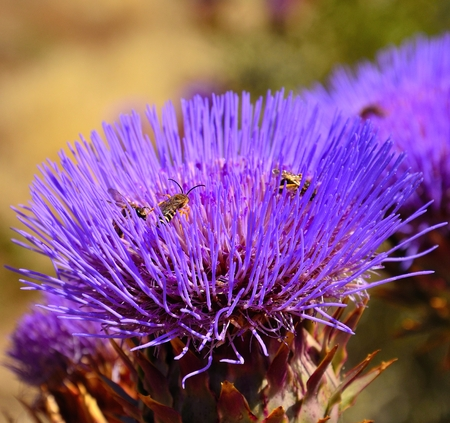 pollinators: Artichoke flower with wasps inside