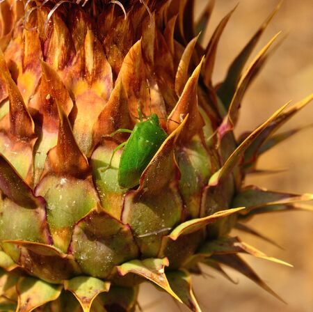 sustainably: Green beetle among thorns of an artichoke Stock Photo