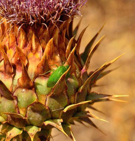 sustainably: Small green beetle on artichoke