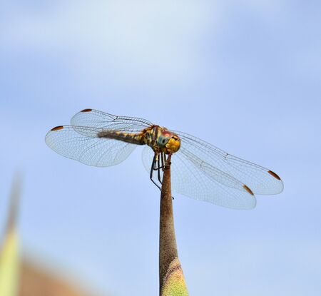thorn tip: Sympetrum dragonfly on tip of agave Stock Photo