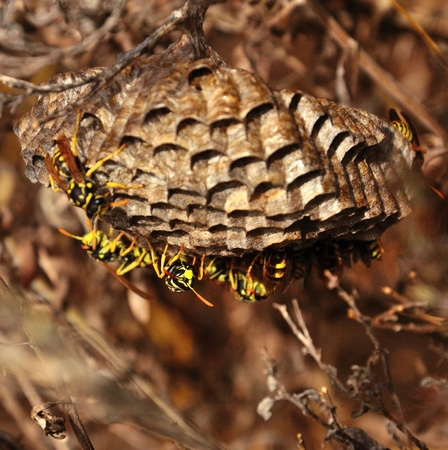 apocrita: Nest hanging from a branch with wasps below