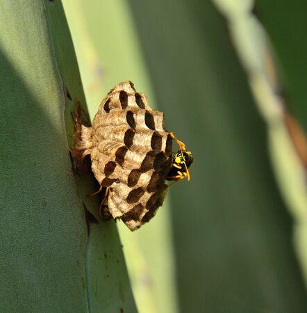 apocrita: Wasp nest on agave leaf