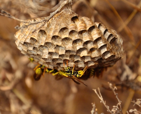 apocrita: Wasp walking under its nest