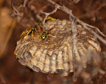 apocrita: Wasps above its nest