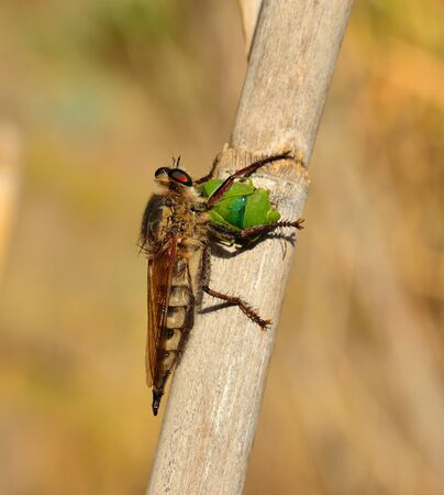 Robber fly nailing the stinger on small green beetle Stock Photo