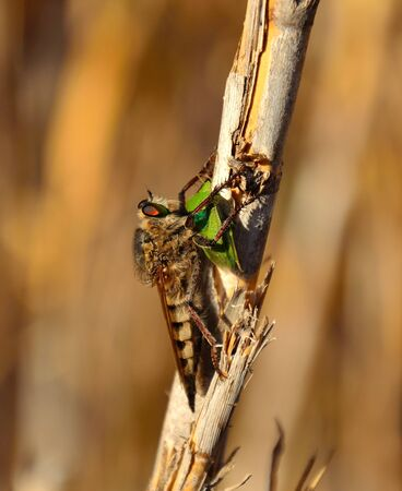 coleopter: Hunting scene of robber fly with green beetle under its claws