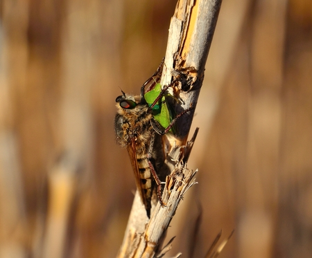 Great efferia albibarbis nailing its stinger on green beetle