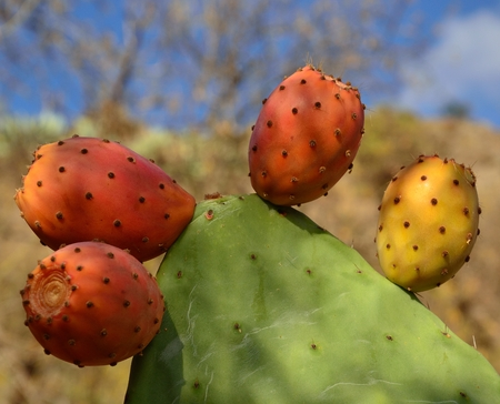 Branch with ripe prickly pears