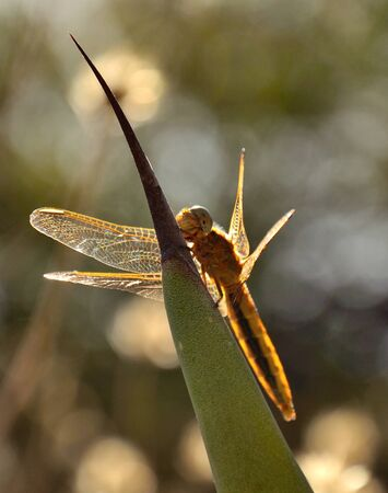 thorn tip: Dragonfly crocothemis on tip of agave