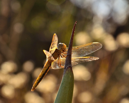 crocothemis: Dragonfly crocothemis perched on tip of agave
