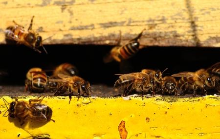 apocrita: Bees outside the hive