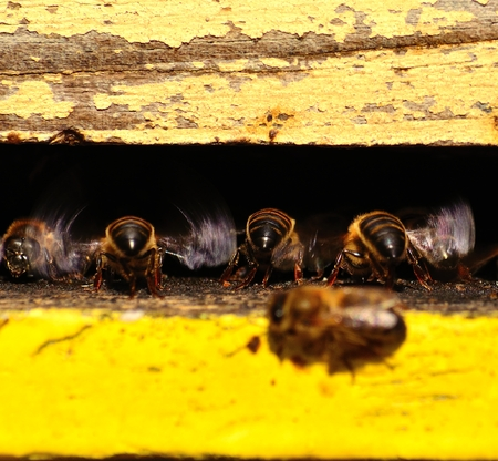 apocrita: Bees flapping the wings Stock Photo