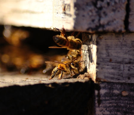 apocrita: Bees in the hive
