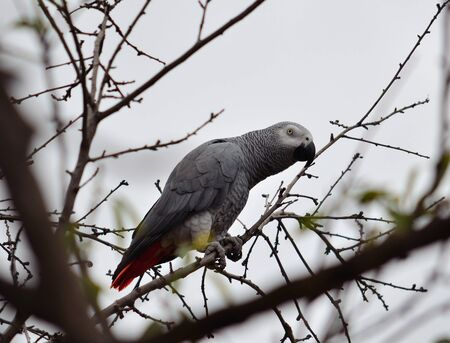 talkative: African grey parrot of red tail among tree branches Stock Photo