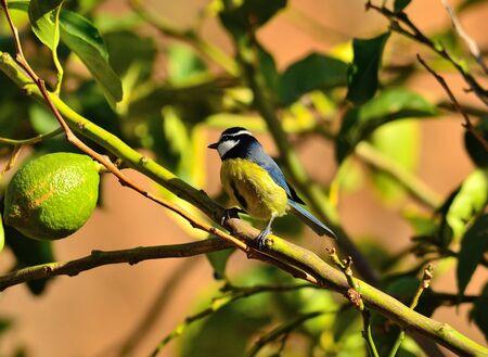Blue tit on lemon tree branch