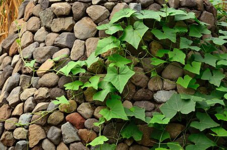 species of creeper: Climber plant on stone cladding Stock Photo