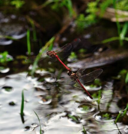 coupled: Red dragonflies in full flight coupled near the water