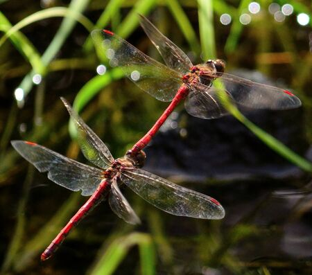 in copula: Red dragonflies  in full flight coupled
