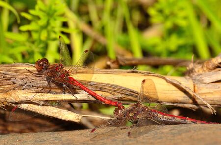 in copula: Peculiar mating ritual of sympetrum dragonflies