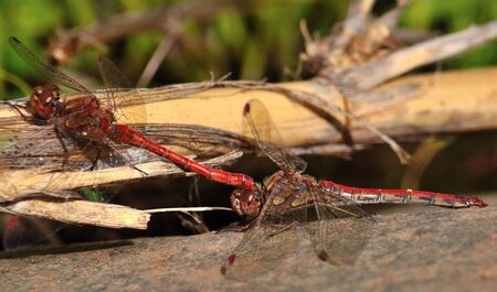 coupled: Coupled sympetrum dragonflies in mating ritual