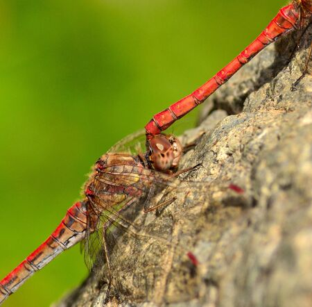 dyad: Closeup of coupled sympetrum dragonflies
