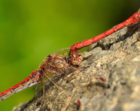 dyad: Closeup of coupled red dragonflies