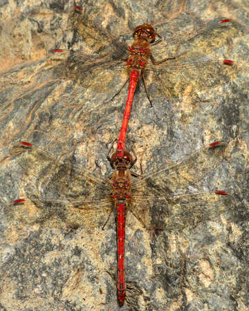 in copula: Mating ritual of sympetrum dragonflies on a rock