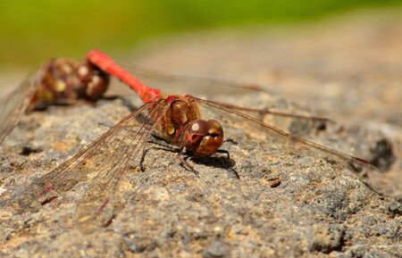 in copula: Mating ritual of sympetrum dragonflies Stock Photo