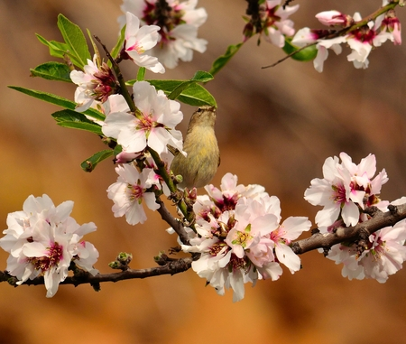 rosaceae: Bird phylloscopus canariensis among almond flowers
