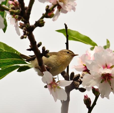 Wild bird phylloscopus canariensis on almond branch
