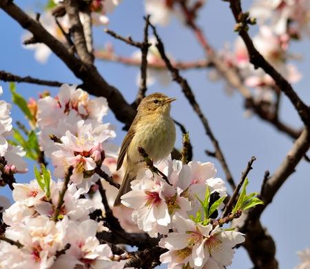 naturalist: Bird canary chiffchaff on wild flowers of almond tree Stock Photo
