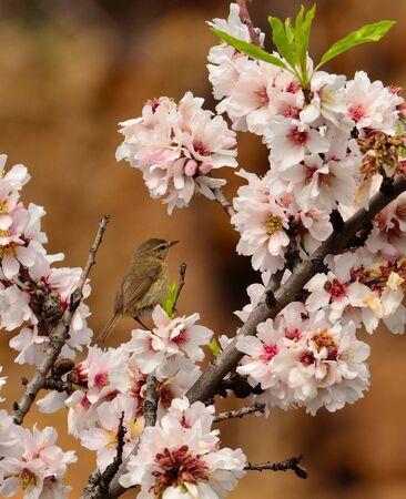 wild canary: Bird canary chiffchaff around wild flowers of  almond tree