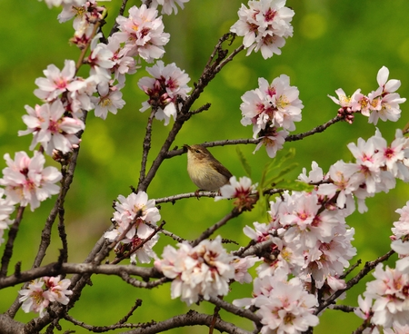 insectivorous plants: Small bird canary chiffchaff among flowers of almond tree