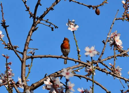 insectivorous plants: Robin bird of Gran canaria singing on almond tree branch in full bloom