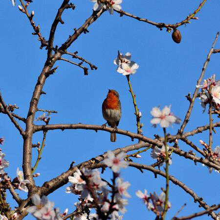 insectivorous plants: Bird erithacus rubecula marionae among branches of almond tree in full bloom Stock Photo