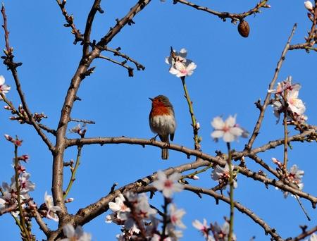 Wild bird erithacus rubecula marionae on almond tree  in bloom Stock Photo